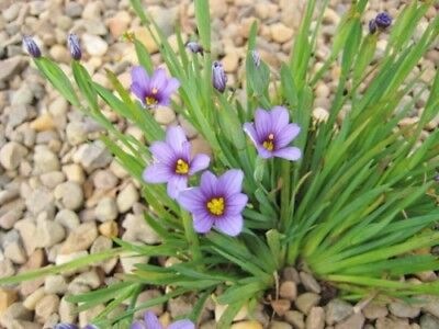 7 x Sisyrinchium Golden Eyed Grass californicum brachypus bare root plant
