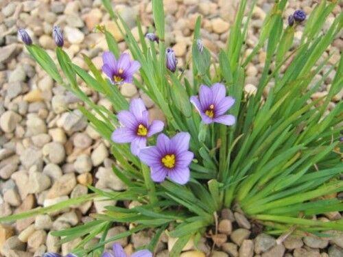 7 x Sisyrinchium Blue Eyed Grass (Sisyrinchium angustifolium) bare root plants