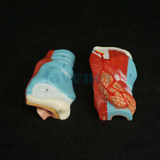 Human Larynx Anatomical Model Medical Anatomy Skeleton Throat Model