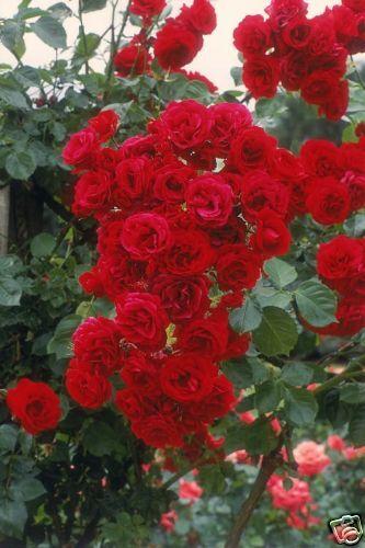 Rosen Kletterrosen als Containerpflanze