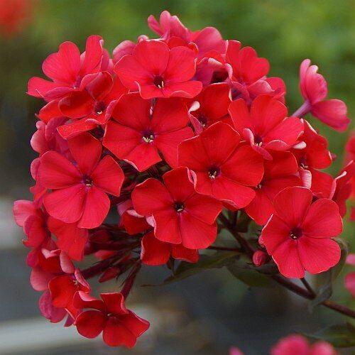 "2 GIANT GARDEN PHLOX  /"" STARFIRE RED /"" Flowering Perennial /"" FALL SHIPPING"