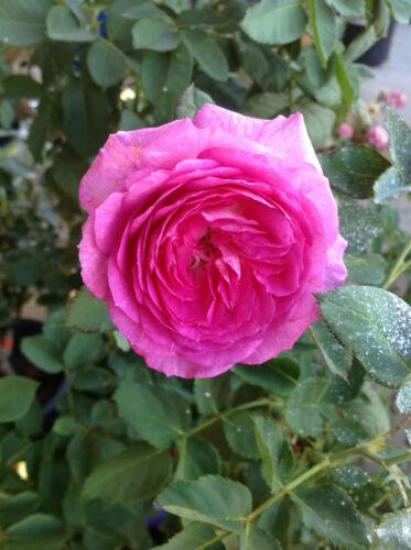 5 LIVE PLANTS LAVENDER CRUSH ROSE CUTTINGS