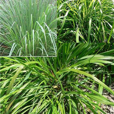 Fragrant 100pcs Lemongrass Herb Lemon Grass Cymbopogon Flexuosus Seeds Garden