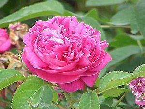 100% pure ROSE béton Indian Rosa damascena Sauvage naturel artisanal Grade A1-afficher le titre d`origine sYGcKFZa-07214546-254108453