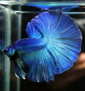 Blue halfmoon betta