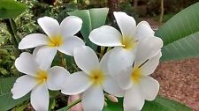 "Hawaiian Plumeria Frangipani (Lei Flower) Tropical Plant 9"" Cutting Grow Tipped"