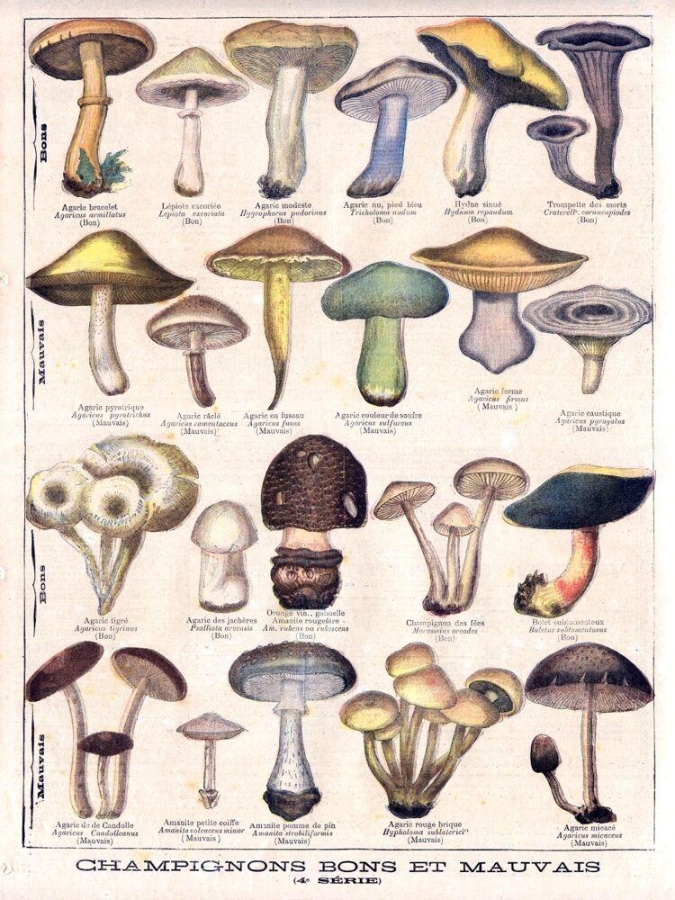 4697.Champignons bon et mauvais.mushrooms.POSTER cor Home Office art