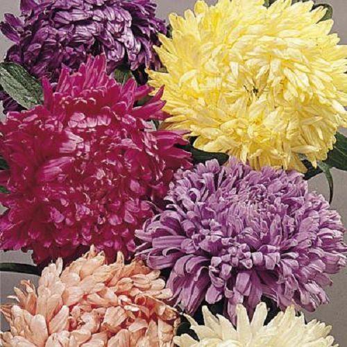 40+ ASTER CHINENSIS CUT FLOWER ASSORTMENT FLOWER SEED MIX  / ANNUAL