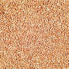 Organic Non-GMO Red Winter Wheat 50lb Bag
