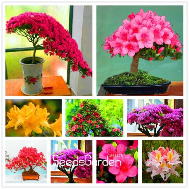 Loss Bag Azalea Seeds Plants Flowers Indoor Bonsai A Garden 100pcs