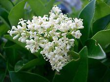 Ligustrum japonicum JAPANESE PRIVET Evergreen Shrub Seeds!