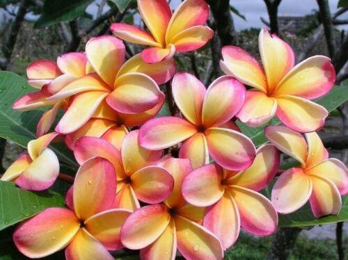 "peach yellow and white stripe Rare Rainbow Plumeria one Cutting 8 to 12/"""