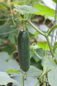 Cucumber-Seeds-Darling-Excellent-Dark-Green-Color-Heirloom-50-Seeds