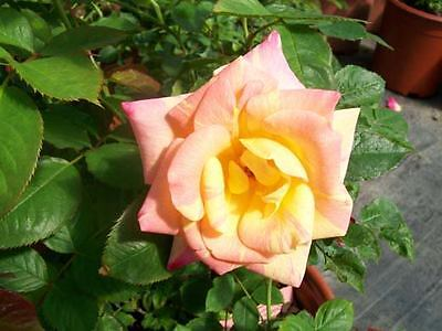 Jacob's Robe Yellow Pink Red Climber Rose 3 Gal Plants Large Double Blooms Roses