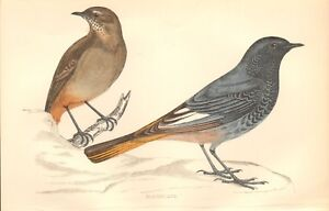 1865 ca - ANTIQUE ORNITHOLOGICAL PRINT- BLACKSTART