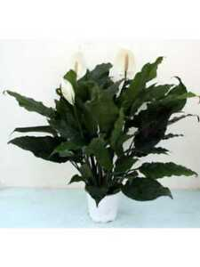 Immagini Piante Da Appartamento.Spathiphyllum Pianta Da Appartamento Arredamento Casa Piante Da