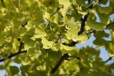 Ginkgobaum Ginkgo biloba Pflanze 20cm Ginko Rarität Baum des Jahrtausends selten