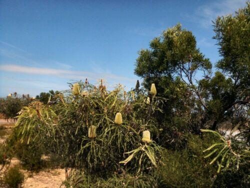 Banksia speciosa 5 Fresh Seeds Showy Banksia