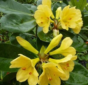 Meadow yellow vireya rhododendron tropical part shade flowers plant image is loading meadow yellow vireya rhododendron tropical part shade flowers mightylinksfo Gallery