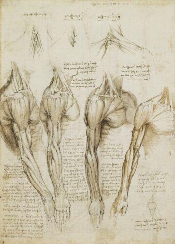 """arm and neck/"""" Anatomy 250gsm Reproduction A3 Poster LEONARDO da VINCI /""""Shoulder"""
