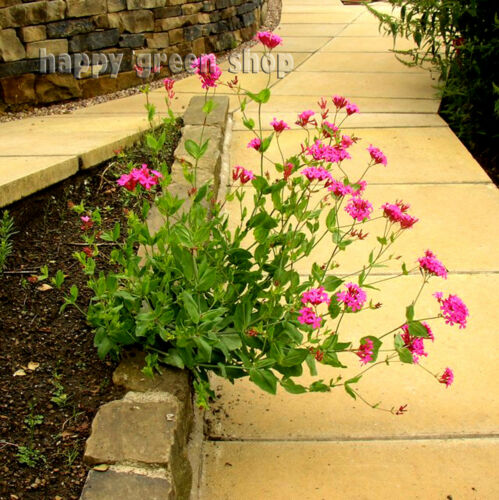 CATCHFLY CARMINE PINK EASILY GROWN BORDER PLANT 1500 seeds Silene Armeria