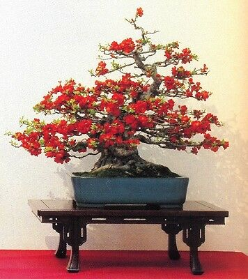 Chaenomeles Japonica Flowering Quince Bonsai Tree 10 Seeds Amazing Rare Ebay