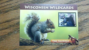 WISCONSIN-WILDCARDS-GRAY-SQUIRREL-TREE-SQUIRRELS-3-1-2-034-X-2-1-2-034