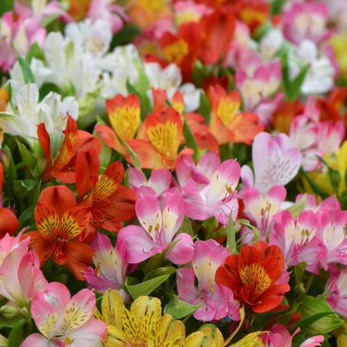 Alstroemeria Hardy Perennial Garden Plants Hybrids 18 or 54 Bare Roots T/&M