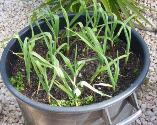 Liveseeds-/'Albigensian Wight/'  /'  UK Garlic Seeds 20 Cloves New Season