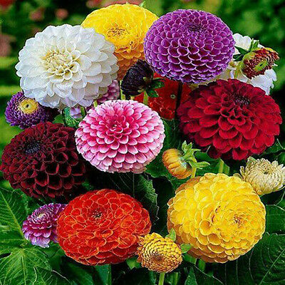 Hot 200Pcs Beautiful Mixed Color Zinnia Flower Plant Seeds Garden Bonsai Seeds