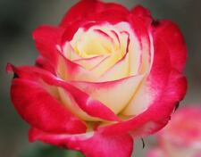 DOUBLE DELIGHT Rose Bush Flowers Live Plant Shrub YELLOW GOLD PINK roses