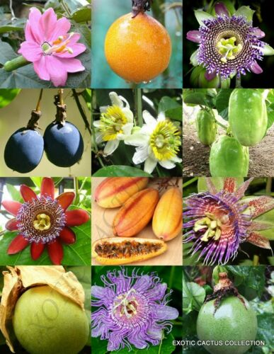 PASSIFLORA mix PASSION FRUIT exotic edible tropical flower vine seed 25 seeds