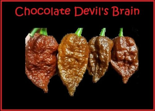 Extreme Hot Pepper Great for Powder 15 seeds Chocolate Devil/'s Brain super RARE