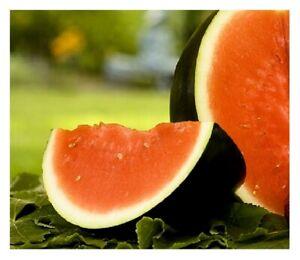 Sugar Baby Watermelon   NON-GMO   Heirloom   Fresh Garden Seeds