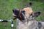 Padded-Head-Collar-Champion-Dog-Training-Halter-Stops-Dog-Pulling-Training-Tool thumbnail 3