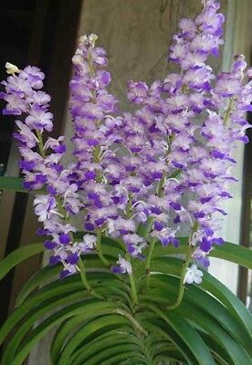 "Rhynchostylis coelestis Bloom size 4/"" basket NICE SPECIES 2 PLANTS"