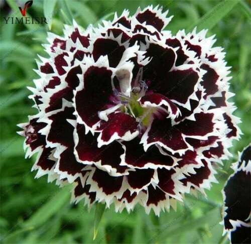 Details about  /Dianthius Black /& White Minstrels Seed x 75 Fragrant Free-Flowering Perennial