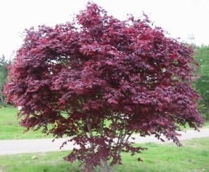 Acero rosso giapponese acer palmatum bloodgood vaso 20 for Acero giapponese in vaso
