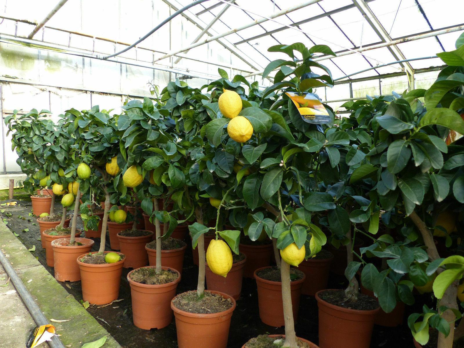 grünwaren: echter Zitronenbaum 60 – 90 cm Zitrone Citrus Limon Zitruspflanze