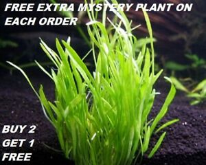 Micro-Sword-Lilaeopsis-Novaezelandiae-Bunch-Live-Aquarium-Plants-BUY2GET1FREE