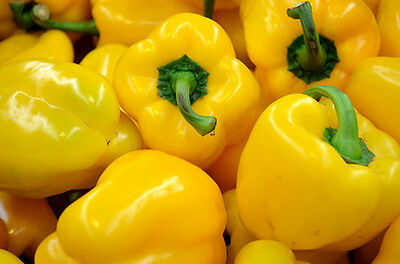 55 Seeds of HEIRLOOM NON GMO ORGANIC YELLOW Bell Peppers - FREE SHIPPING