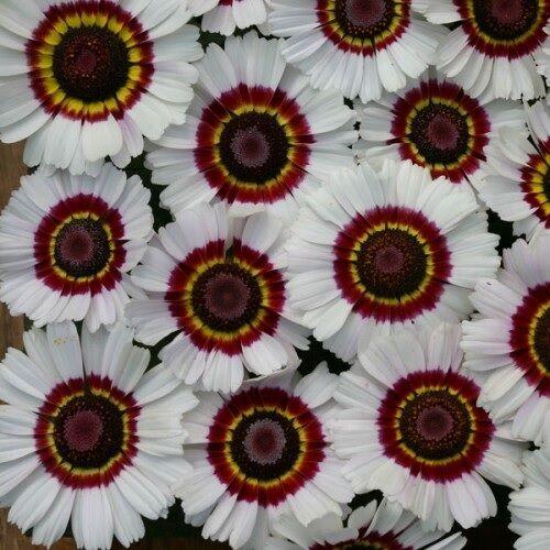 100 Seeds Chrysanthemum carinatum /'Bright Eye/'