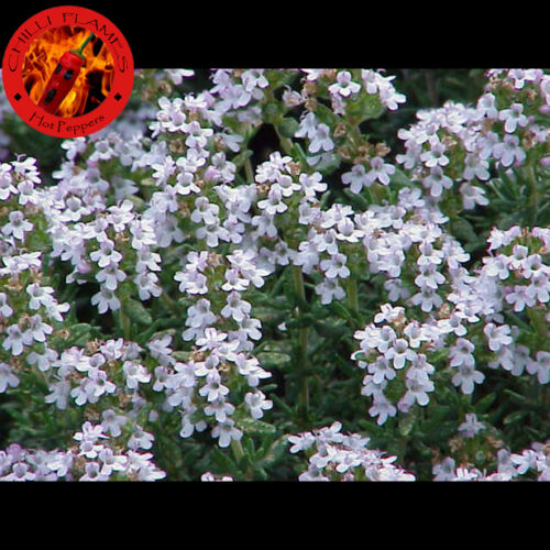 Thymus vulgaris 100 SEMI DI TIMO comune OMAGGIO 5 di GIRASOLE GIGANTE