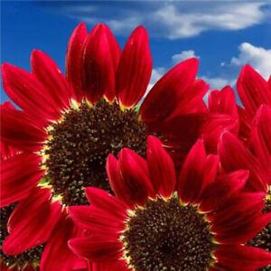 Am-15Pcs-Helianthus-Red-Sunflower-Seeds-Annual-Bloom-Plant-Yard-Farm-Decoration