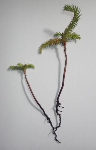 Araucaria Columnaris small tree 15cm