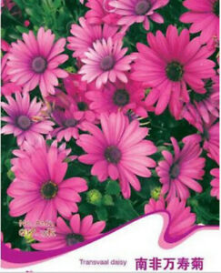 FD1220-Transvaal-Daisy-Flower-Seed-Osteospermum-1-Pack-15-Seeds-Free-Shipping