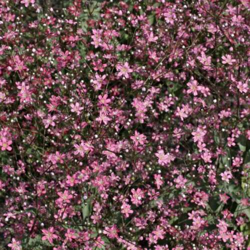 FLOWER GYPSOPHILA ELEGANS PINK  3000 FLOWER SEEDS