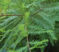 Taxodium distichum Swamp Cypress - in 9cm pot ideal bonsai subject