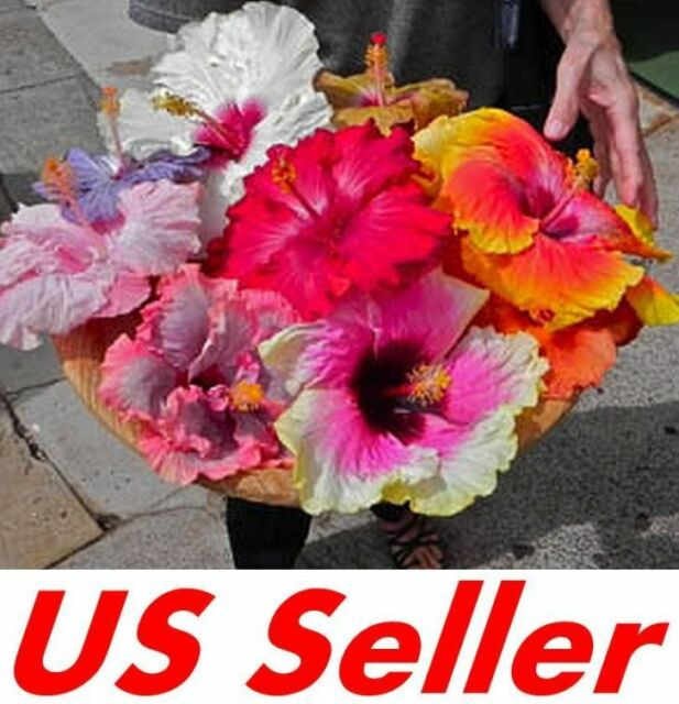 20 Pcs Garden Giant Hibiscus Flower Seeds B71 Awesome Mixed Color