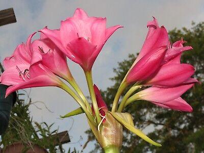 RARE fantastic Crinum Lily Lolita small-size bulb NEW